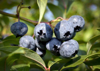Die blauen Beeren
